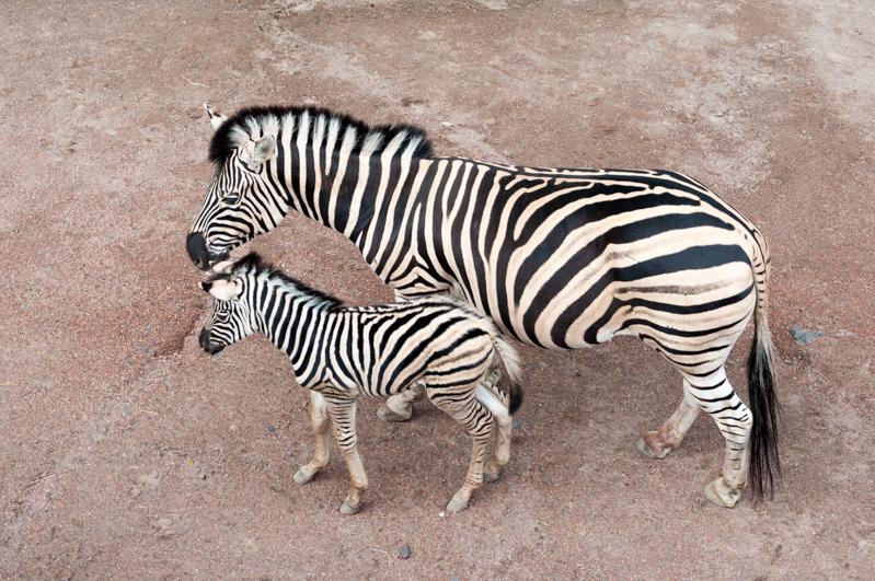zebra GaiaZOO